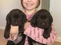 born    important   chocolate/black  litter, you can book your puppy  now !
